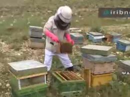 اصلاح نژاد و پرورش ملکه زنبور عسل در فيروزکوه