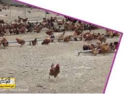 از کجا شروع کنم...پرورش مرغ بومی