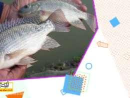 از کجا شروع کنم...پرورش ماهی تیلاپیا